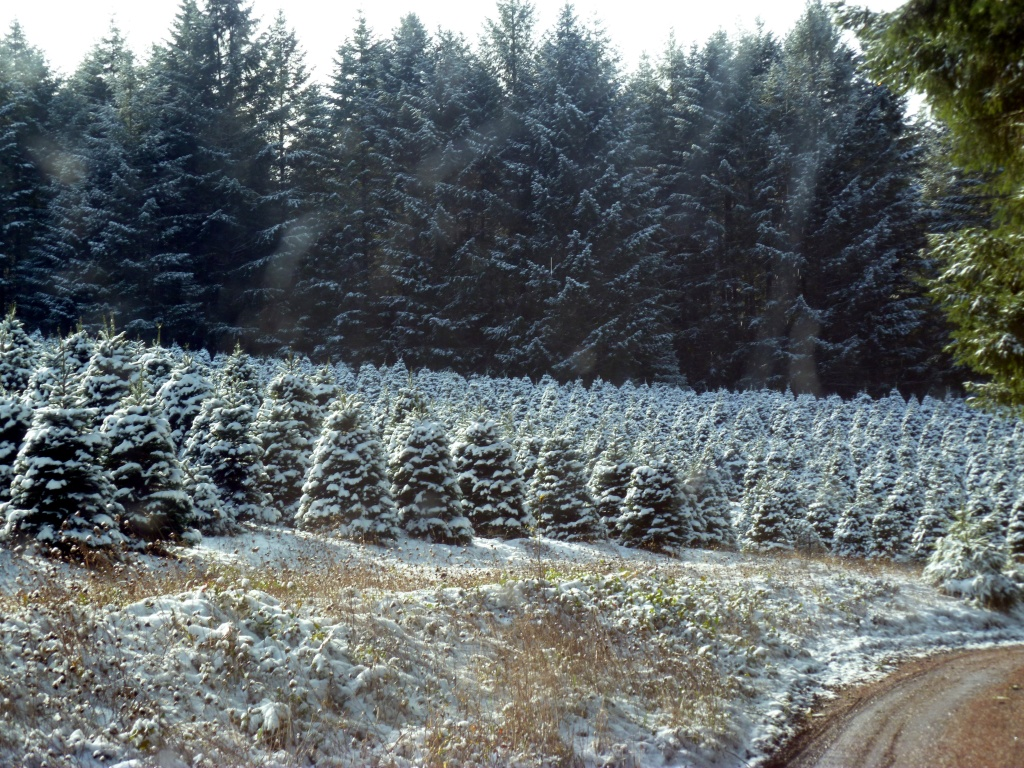 Large natural evergreen trees in the background with smaller Christmas tree shaped trees in the front. All with a light dusting of snow.