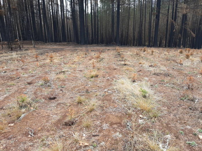 A small patch of field with burnt trees in the background and burnt seedlings in the foreground.