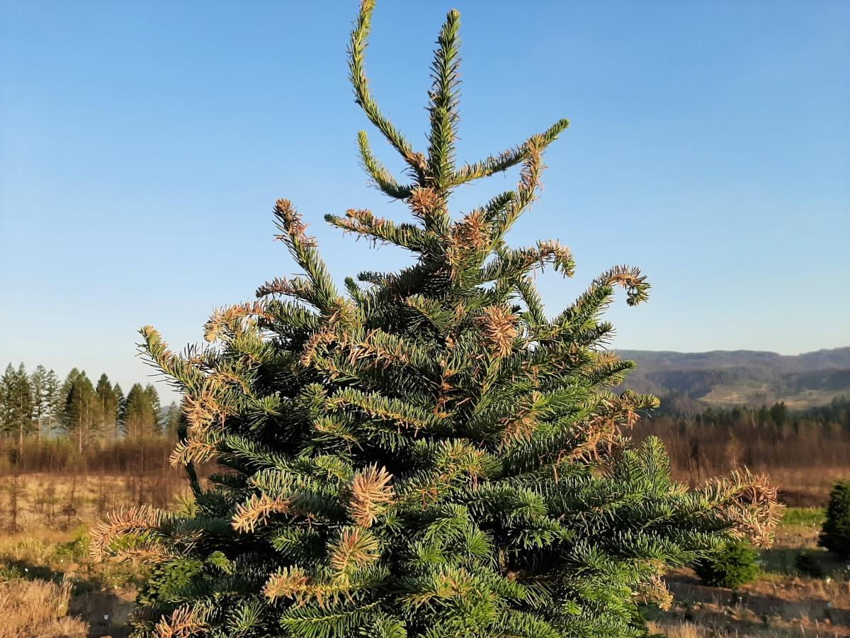 Sunburned Christmas Tree
