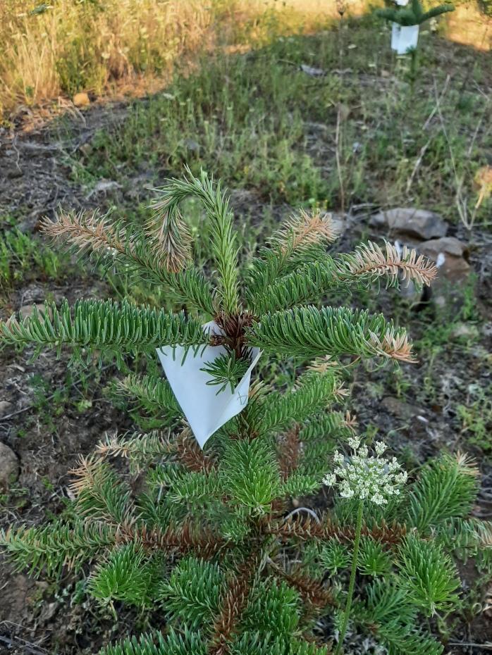 Sunburned Christmas Tree Seedling