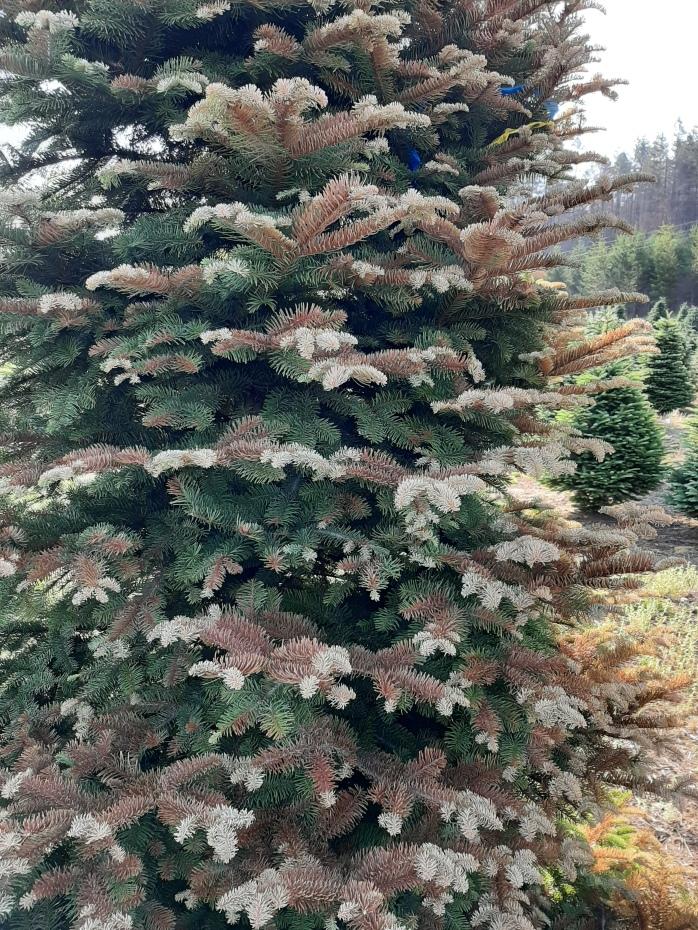 Side of Christmas Tree showing sun damage